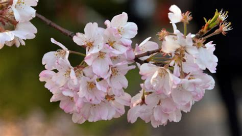 cherry tree growth rate cherry tree from space mystery baffles japan