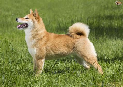 japanese shiba inu japanese shiba inu breed information buying advice photos and facts pets4homes