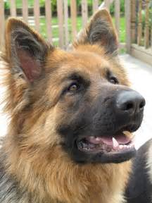 Haired german shepherd long haired german shepherd long haired black