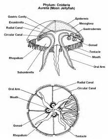 Female reproductive system diagram moreover female reproductive system