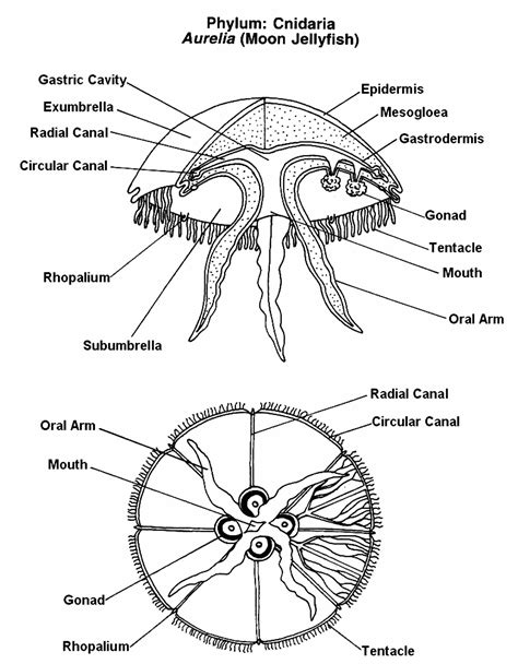 diagram of a jellyfish raising pet jellyfish october 2011