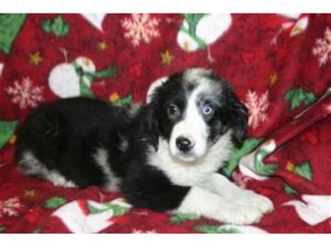 puppies for sale meadville pa miniature australian shepherd puppies in pennsylvania