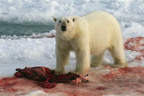 imagenes animales polares 191 qu 233 ocurrir 237 a con los osos polares si se derritiera el