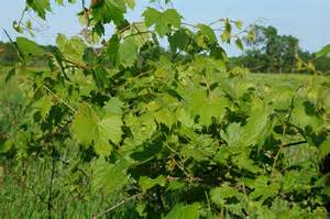 wild grape leaves along the grapevine