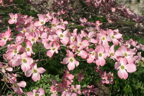 Bmr 11 Pink powell gardens april 2011