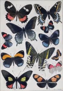 butterfly prints free butterfly prints kansapedia kansas historical society