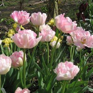 Benih Bunga Viola Jenis 4 tulip angelique tamanbenih tamanbenih