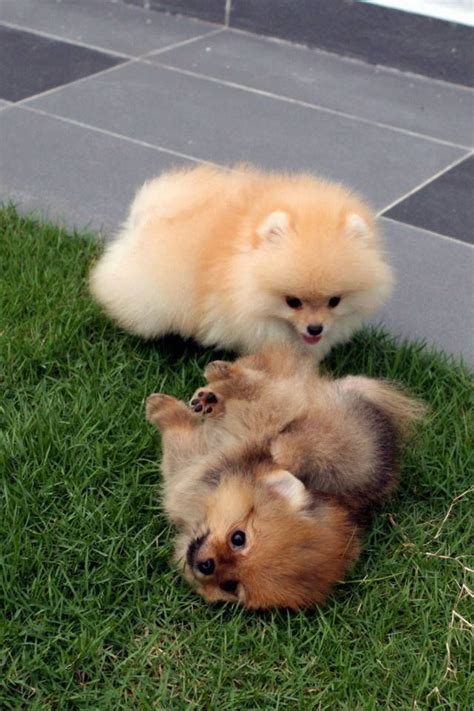 i want to buy a pomeranian puppy 2398 best animals mostly dogs images on shih tzus baby animals and animal