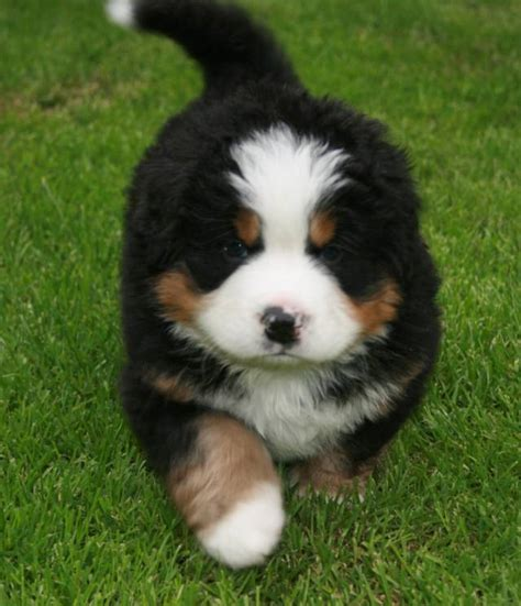 bernese puppies bernese breeders association of great britain your bernese part 2