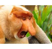 Proboscis Monkey Nose Animals Primates Wallpaper