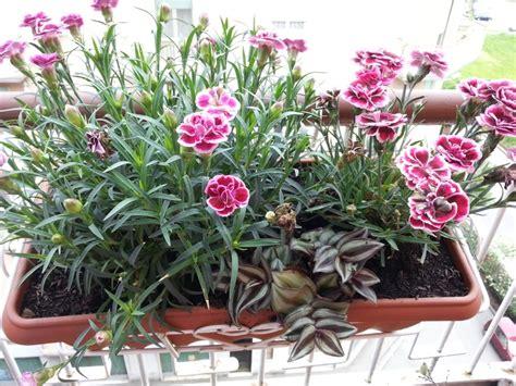 garofani in vaso garofanini mi mostrate i vostri forum di giardinaggio it