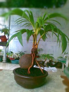 membuat bonsai kelapa mini kelapa sawit