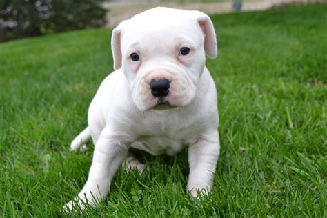 bulldog puppy pictures bulldog puppy for sale american bulldog puppies for sale bruiser