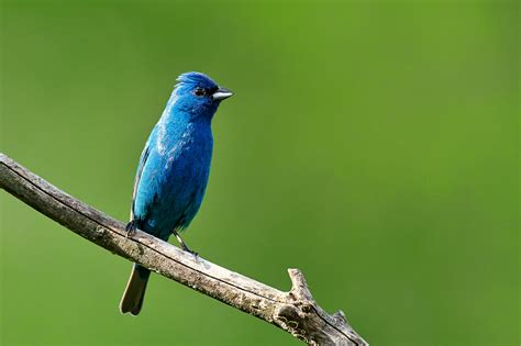 birds of new york indigo bunting