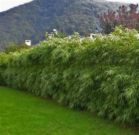 bambus hecke schneiden zur 252 ckschneiden und auslichten bambuspflanzen bambus
