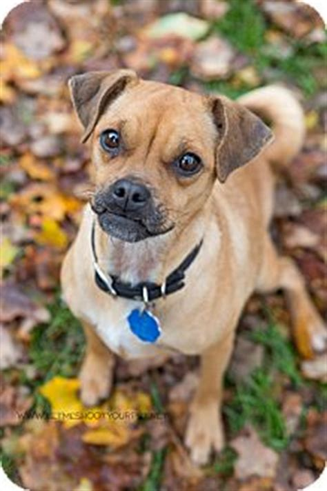 pug pinscher mix pixel adopted pdr86 drumbo on pug miniature pinscher mix