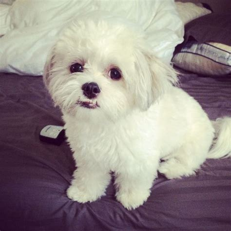grown shih tzu my bug maltese shih tzu grown cuteness maltese shih tzu