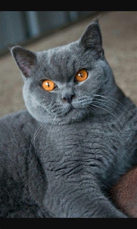 Blue Cats Patchwork - blue shorthair cats cat shorthair