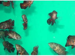 Lu Hias Air Jatuh oscar ikan hias air tawar termahal ikan hias air tawar