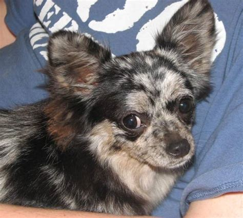 chihuahua puppies for sale in arkansas arkansas chihuahua puppies for sale chihuahua breeders