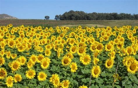 sunflower field off route 15 in northern new jersey near sparta klipnek pass n5 mountain passes south africa