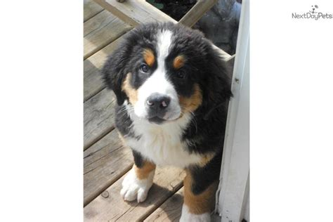 dogs for sale omaha ukc bernese mountain puppies for sale dogs for sale puppies models picture
