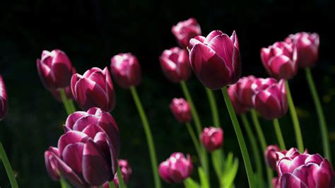 spring pink tulips wallpapers hd wallpapers id