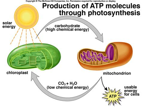 cell energy photosynthesis and respiration section 6 1 4 gb 06 photosyn spr2003