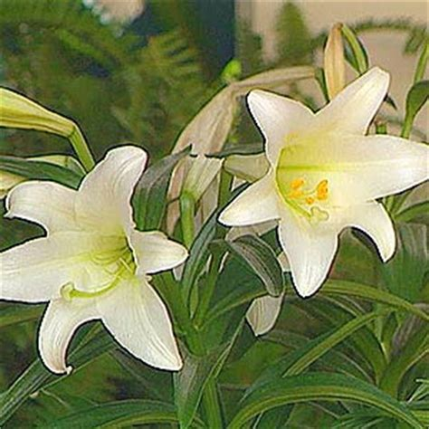 can easter lilies be planted outside planting easter bulbs