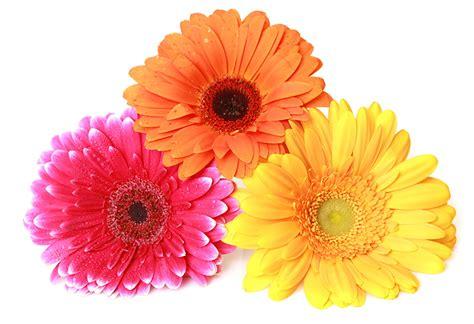 imagenes flores gerberas fondos de pantalla gerbera en gran plano tres 3 flores