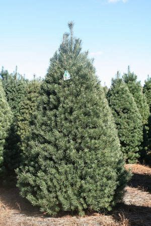 michigan christmas tree association 8 varieties of michigan grown trees mlive
