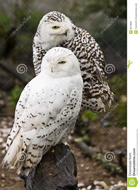 White Owl L Base by Snowy Owls Stock Photos Image 9270883