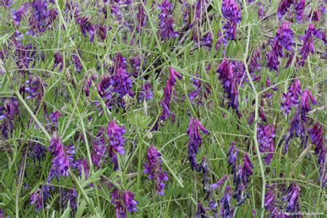 names of purple wildflower purple flowers name pictures to pin on