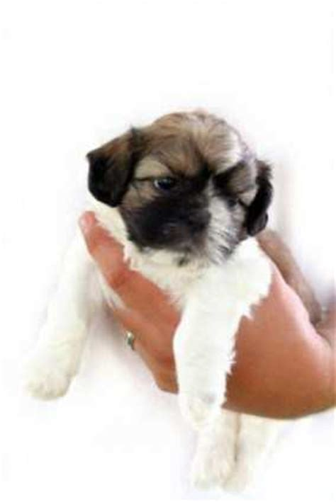 vitamins for shih tzu puppy shih tzu info center puppy weaning