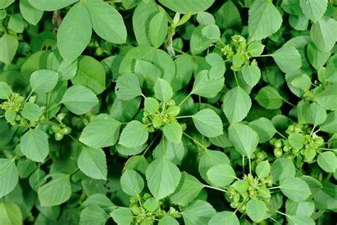 nathai choori plant images த வ யற ற ம ட கள அகற ற உதவ ம க ப ப ம ன webdunia tamil