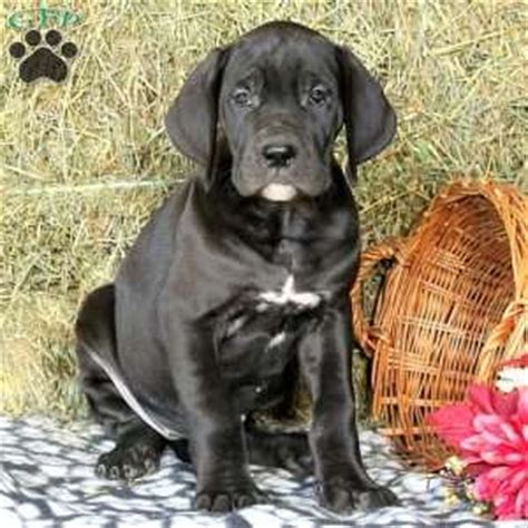 great dane puppies for sale in pa great dane puppies for sale in de md ny nj philly dc and baltimore