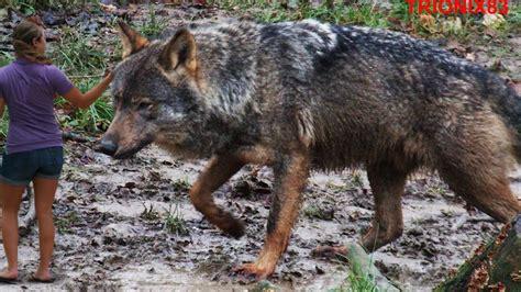 lobo gigante lobos lobo lobos gigantes el lobo iberico youtube