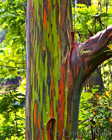 rainbow trees maui hawaii quot rainbow eucalyptus tree quot rainbow