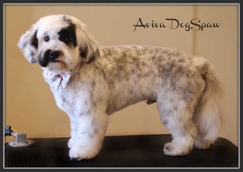 teddy cut havanese teddy cut www pixshark images galleries with a bite