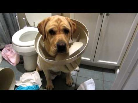 guilty golden retriever denver home animals labrador retriever channel mp4 vizhole