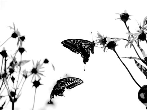 black and white butterfly wallpaper black and white butterfly background wallpaper 30906