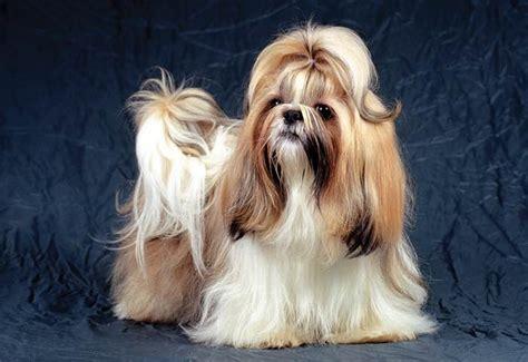 ckc shih tzu canadian kennel club club canin canadien