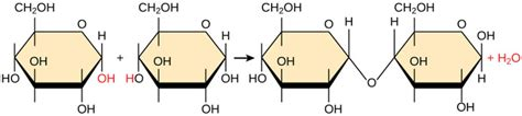 dehydration synthesis definition synthesis of biological macromolecules boundless biology