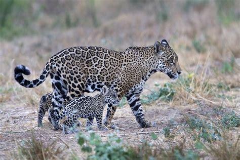 are jaguars endangered