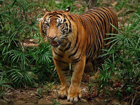 gambar wallpaper anak harimau harimau sumatera alamendah s blog