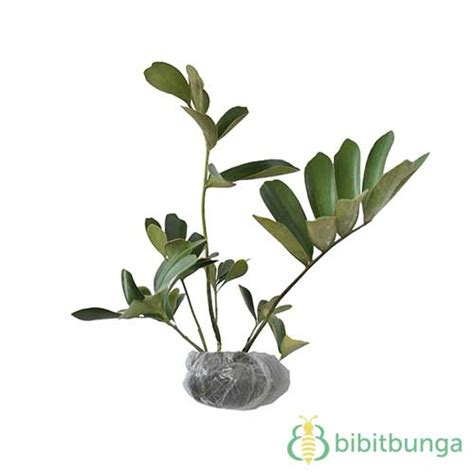 Tanaman Paku Fleknum tanaman turkey fern bibitbunga