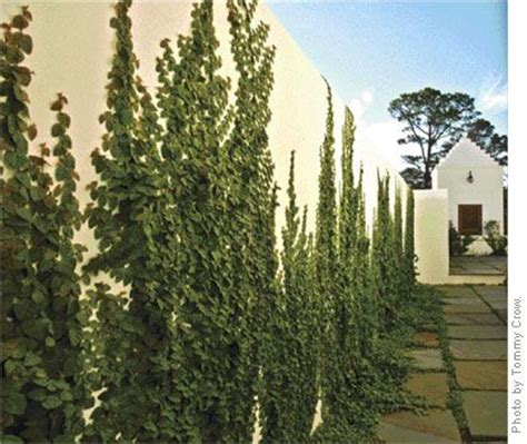 climbing plants perth creeping fig vine i want my back walls in my backyard