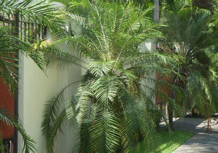 pequea y grande coco 849065039x palma rubelina palmas rubelinas