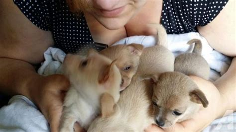 chihuahua puppies for sale in michigan teacup chihuahua puppies price reduced for sale in nashville michigan classified