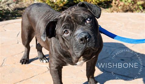 wishbone breed dogs are deserving rescue all breed and pit bull rescue